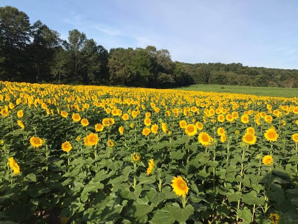 sunflower fields near me sussex county sunflower maze new jersey