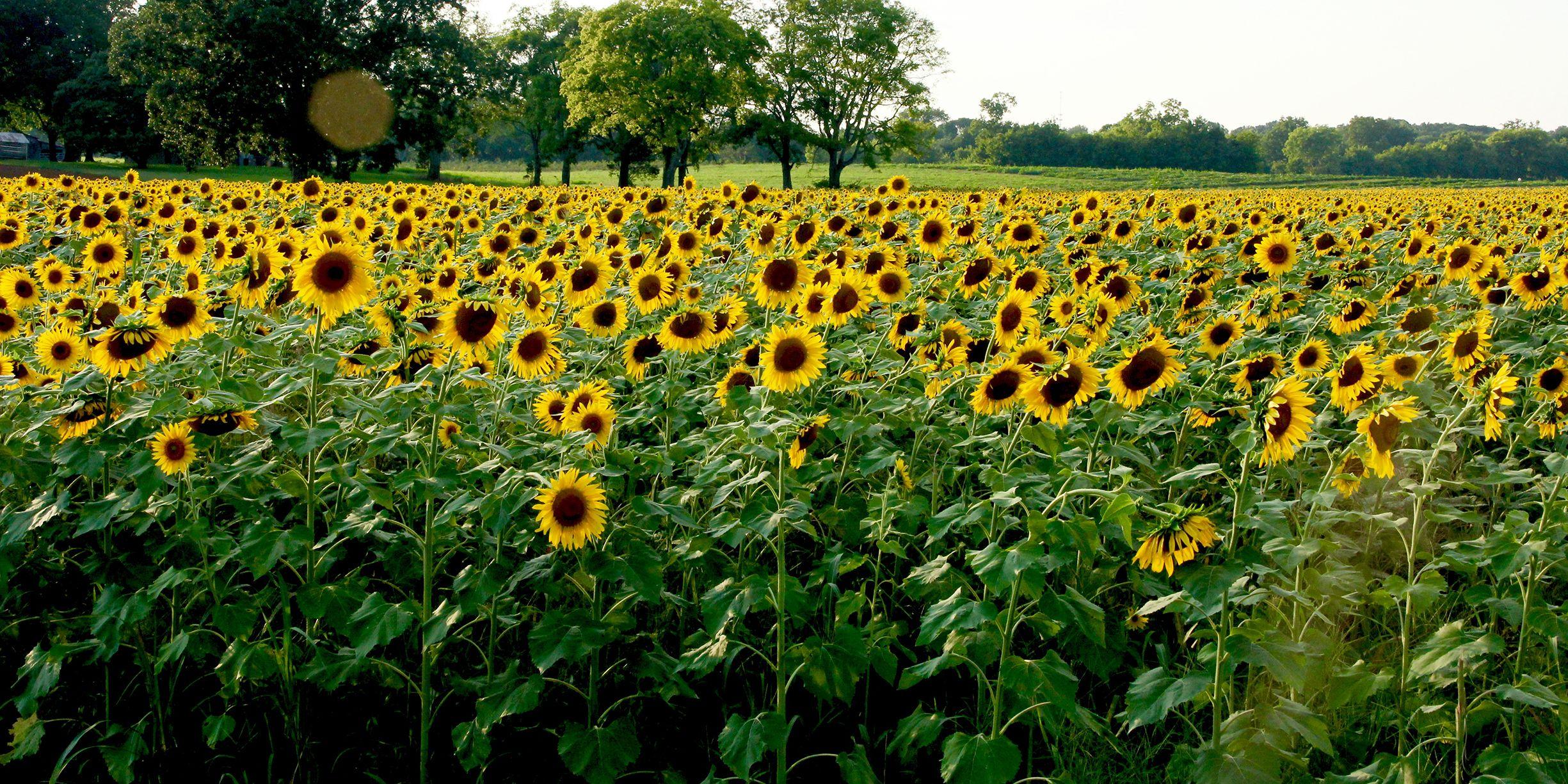 2428677320db66 31 Best Sunflower Fields Near Me - Top Sunflower Fields & Mazes in the U.S.