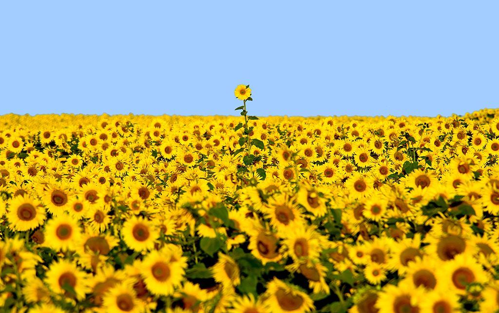 There's a Sunflower Super Bloom Happening in North Dakota Right Now