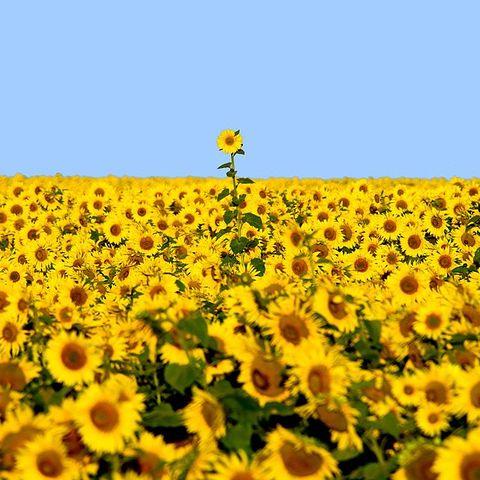 Sunflower Super Bloom in North Dakota