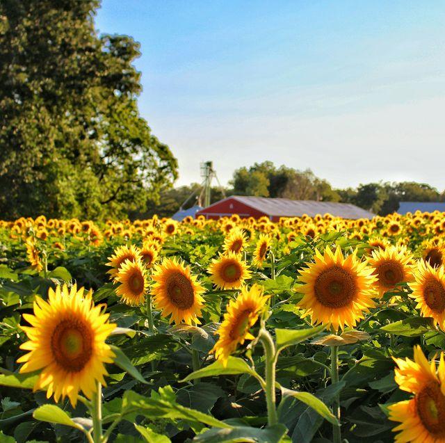 sunflower types