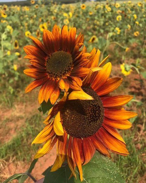 two orange sunflowers in a field of sunflowers