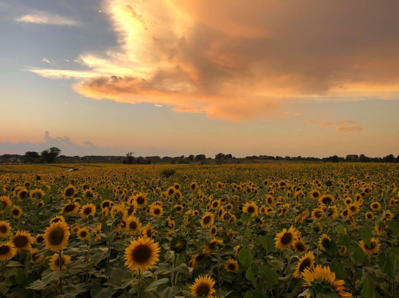 33 Best Sunflower Fields Near Me Top Sunflower Fields Mazes In The U S