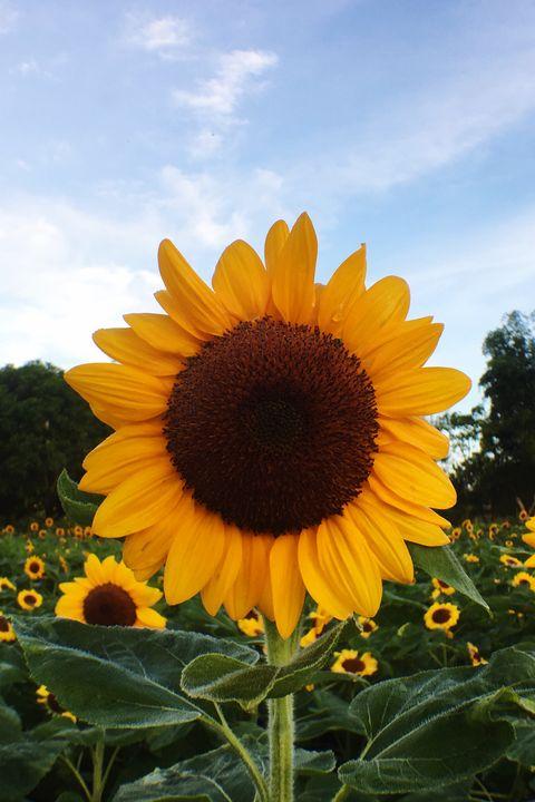 plants for kids sunflower