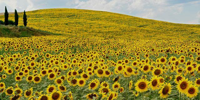I campi di girasoli più belli da vedere in Italia