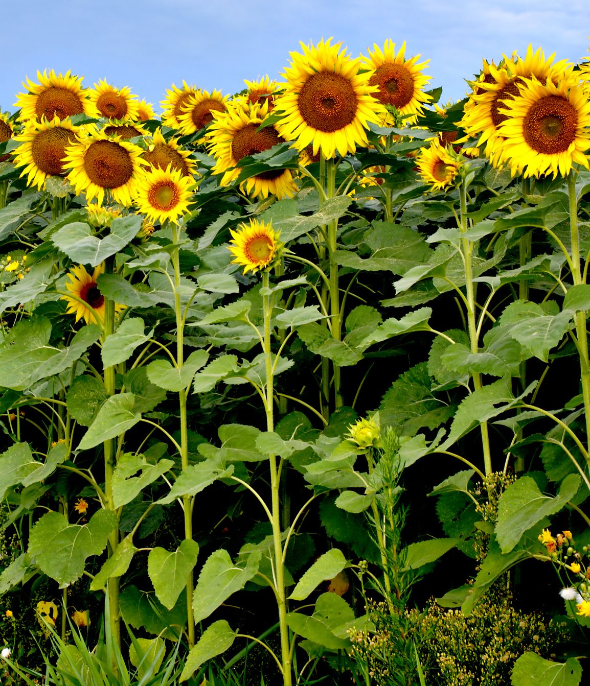 15 Different Types of Sunflowers - Sunflower Varieties To Plant