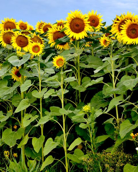 sunforest mix sunflower types