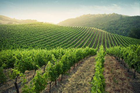 Sunrise over vineyards in Napa Valley, California.