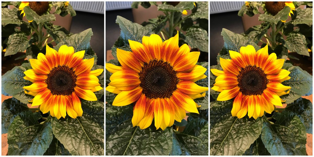 Beautiful French Style Sunflowers Sunsation Flame