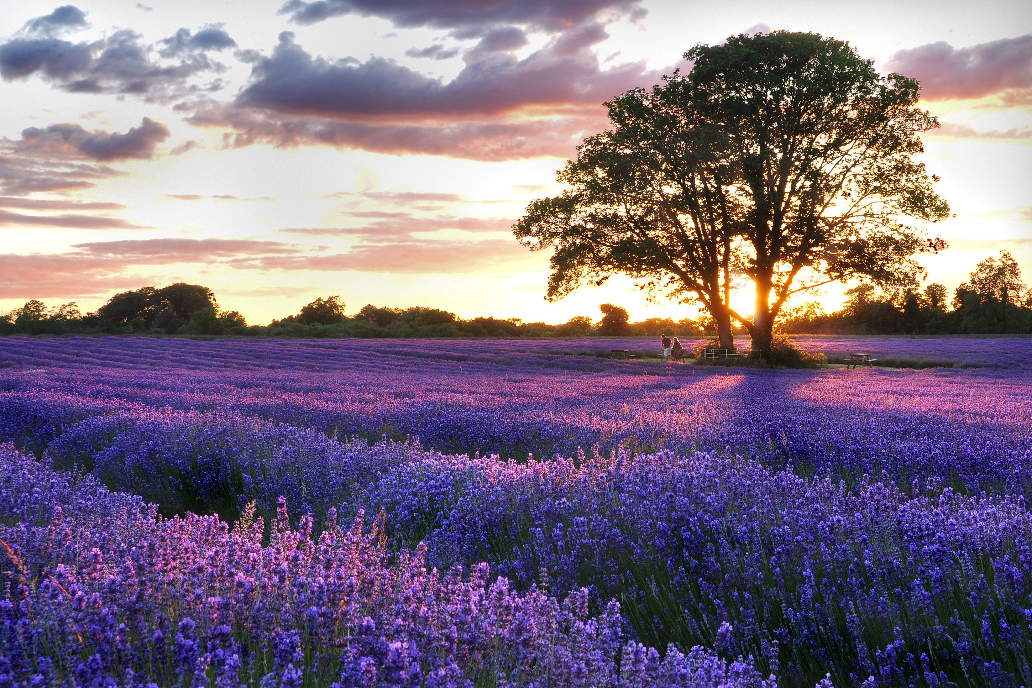 7 Lavender Fields You Need To Visit This Summer