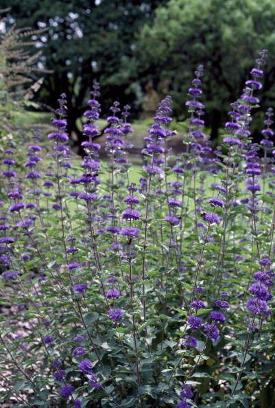 Sunshine blue bluebeard, Lamiaceae