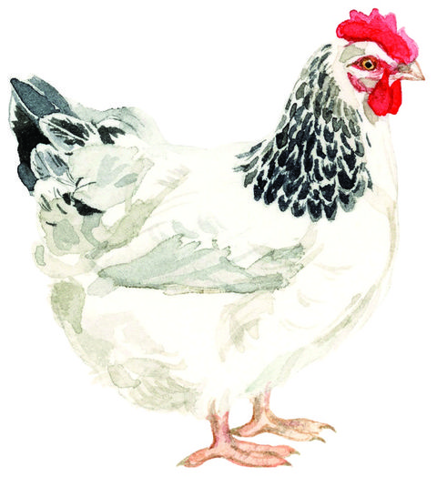 Illustration of a Sussex Chicken