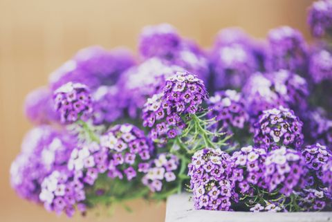 Container gardening: Sweet alyssum flowers in concrete planter