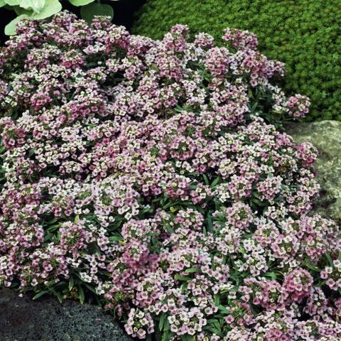 Sweet alyssum or Sweet alison...