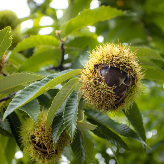 rhs urges brits to map sweet chestnut trees to protect their presence