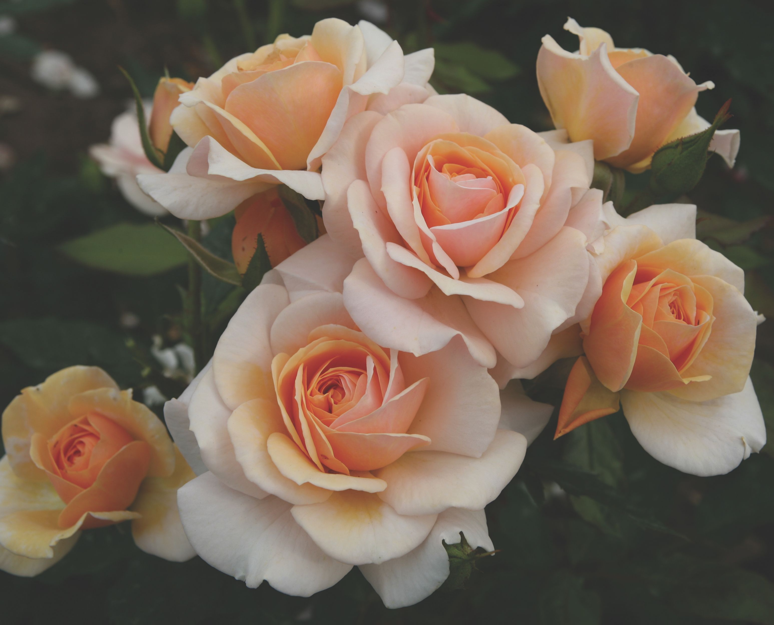Sweet Honey 'Kormecaso' is the 2020 Rose of the Year