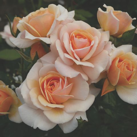 Sweet Honey'Kormecaso' has been named as the 2020 Rose of the Year