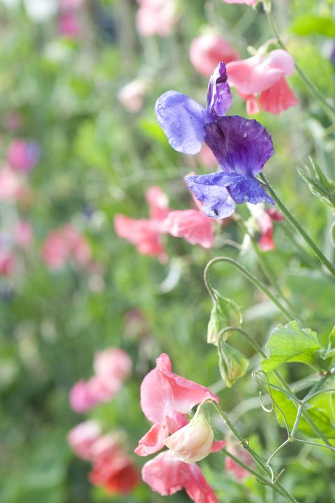 sweet pea flowering vine