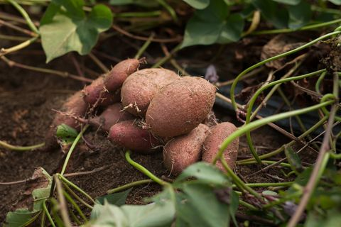 Grow Sweet Potatoes In Your Backyard