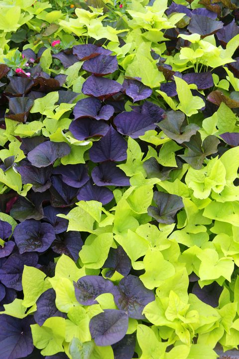 vibrant purple and green sweet potato vine