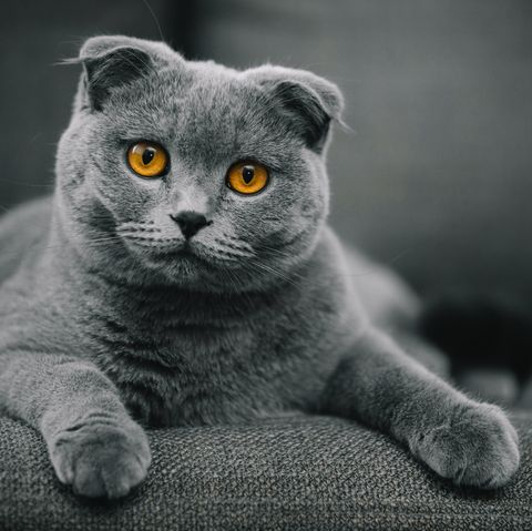 sweetest cats most affectionate - scottish fold
