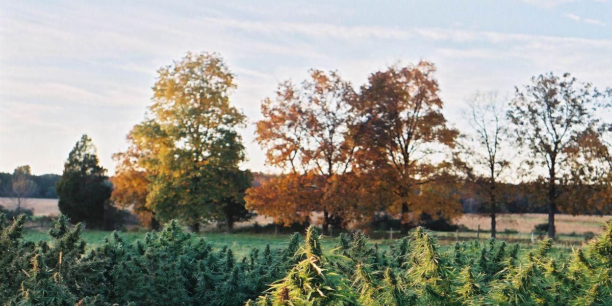 Ms. Rockefeller's Cannabis Farm