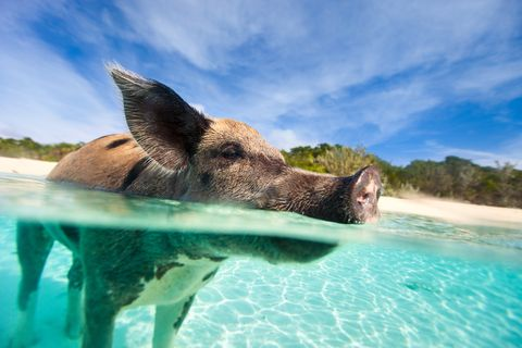 swimming pig on exuma island