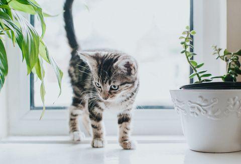 chaton tigré