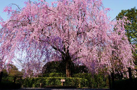 桜,妙心寺退蔵院