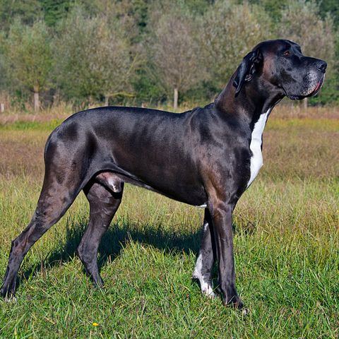 tallest-dog-breeds-great-dane