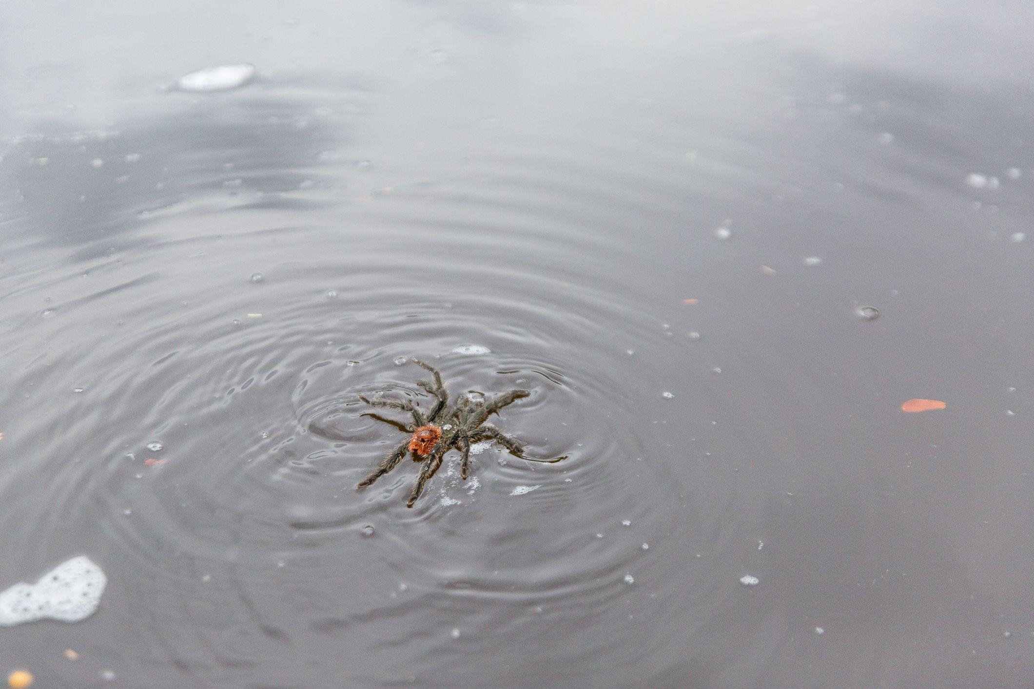 This Video of a Swimming Tarantula in Texas Is Here to Ruin Your Summer