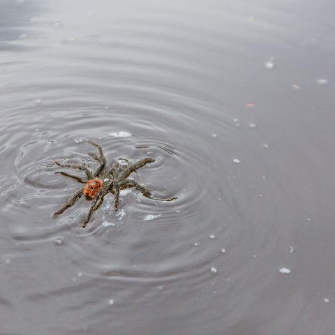 Tarantula Swimming