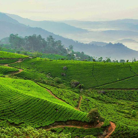 tea garden against foggy mountains
