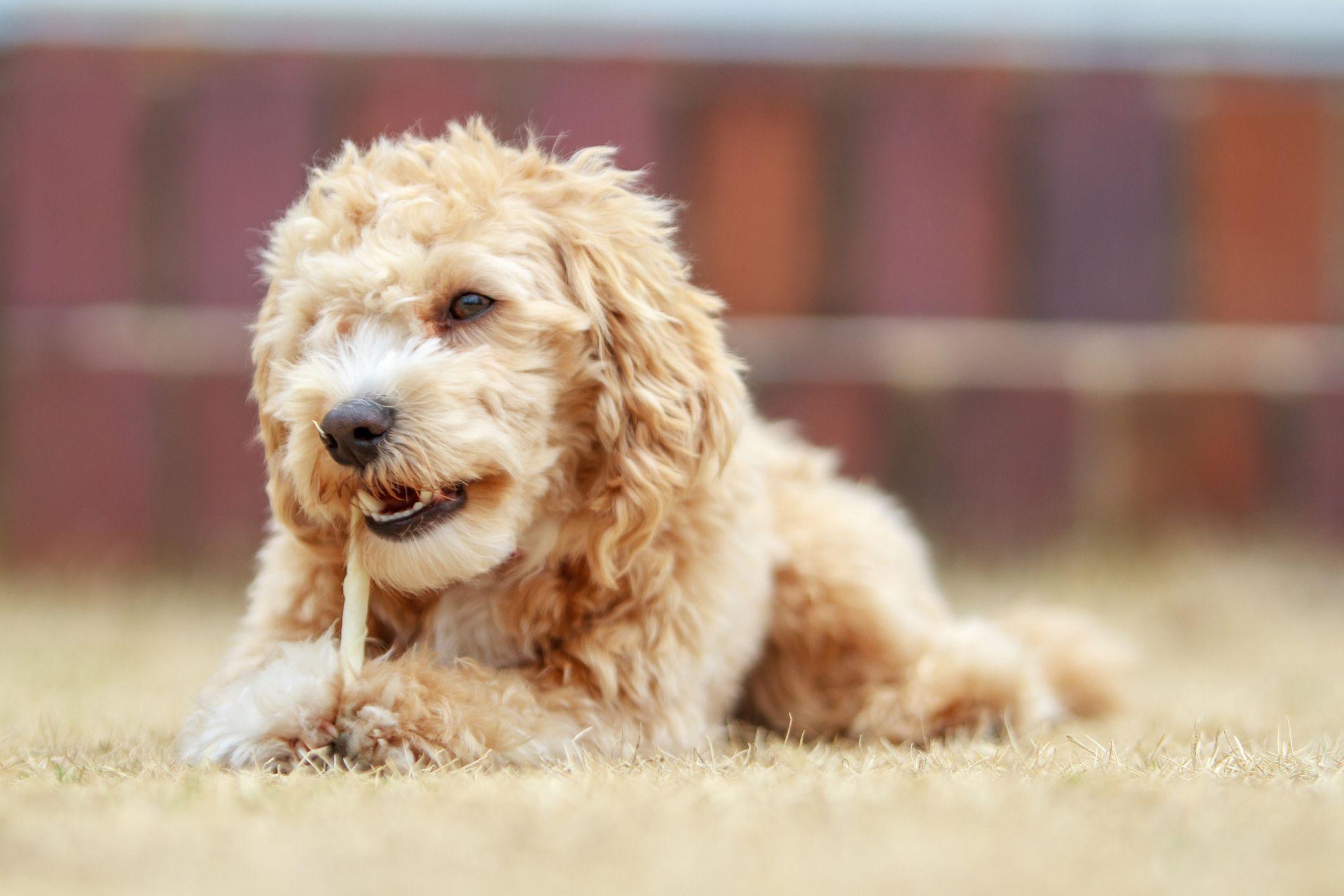 16 Teacup Dog Breeds Pomeranian