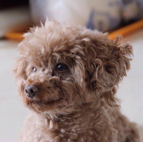 teddy-bear-dog-breeds Cavapoo