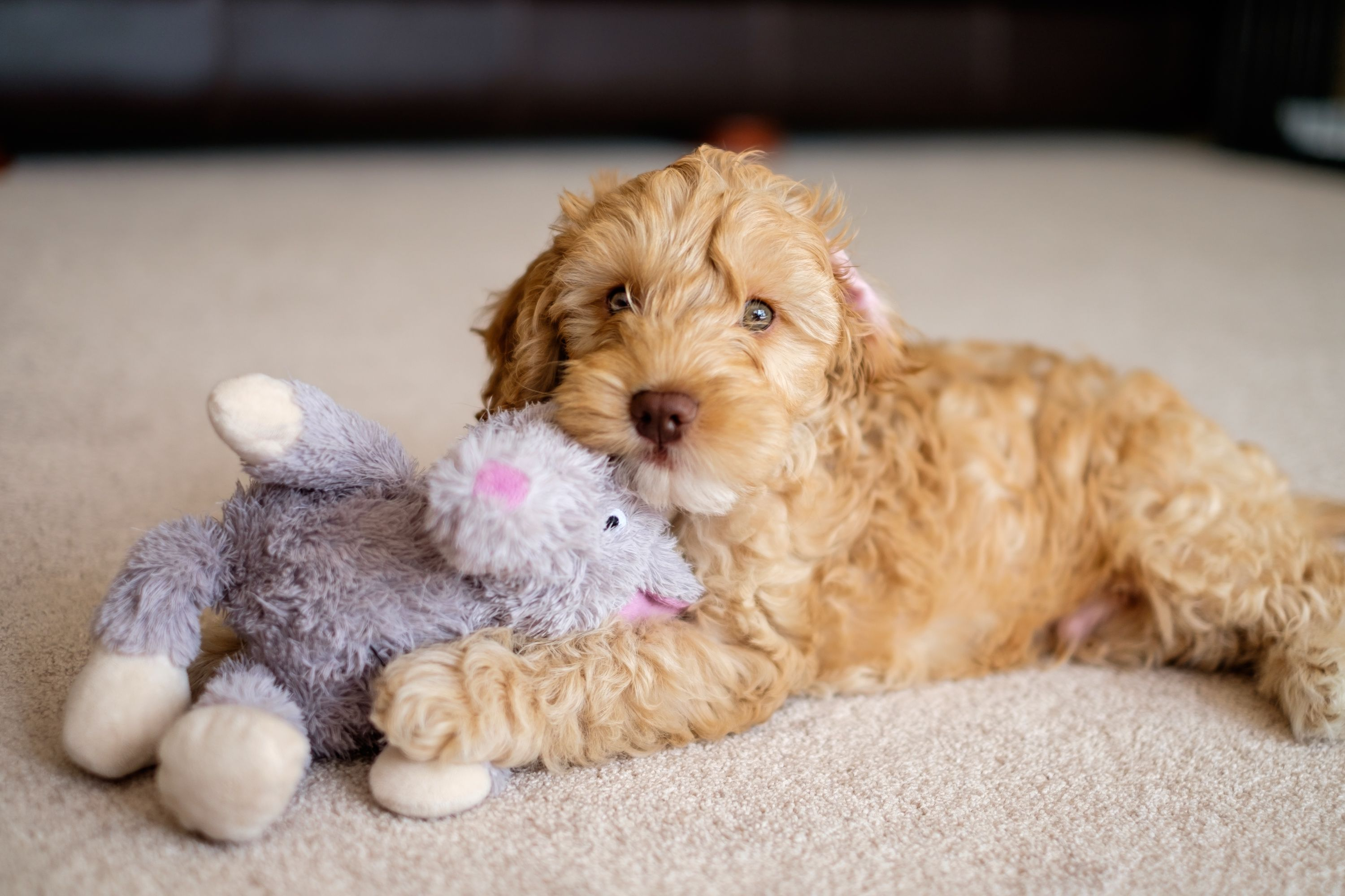 Purchase Teddy Bear Cockapoo Up To 79 Off