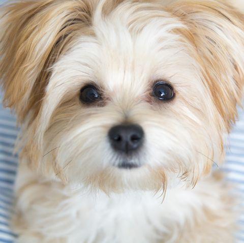 teddy-bear-dog-breeds Morkie