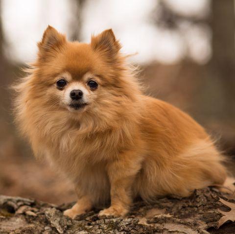teddy-bear-dog-breeds Pomchi