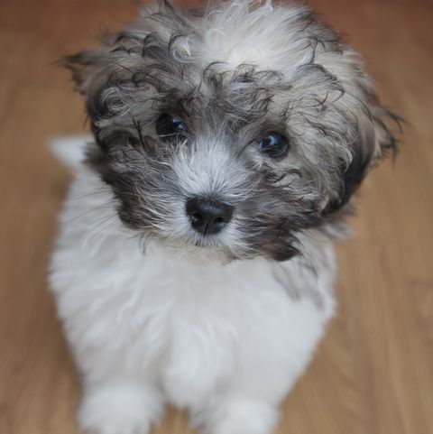 15 Teddy Bear Dog Breeds Morki Schnoodle And More