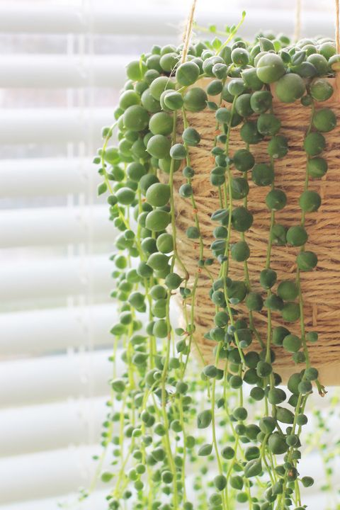 Tender and unusual. String-of-pearls. Weirdest amazing plants.