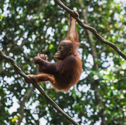 Primate, Orangutan, Branch, Wildlife, Organism, Tree, Terrestrial animal, Macaque, Jungle, Adaptation,