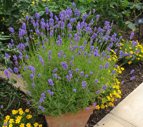 Planting Lavender In The Right Pot