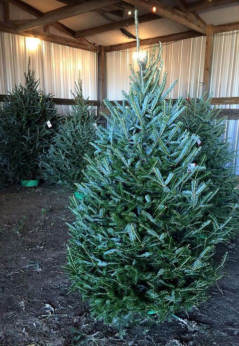 texas christmas tree farms near me