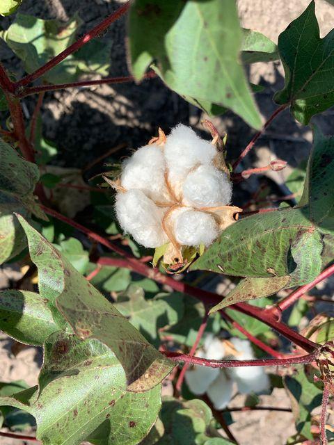 cotton plant on a texas farm