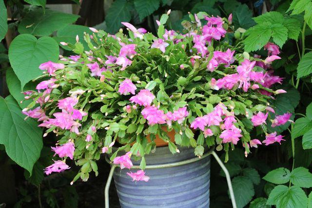 flowers of schlumbergera truncata, germany