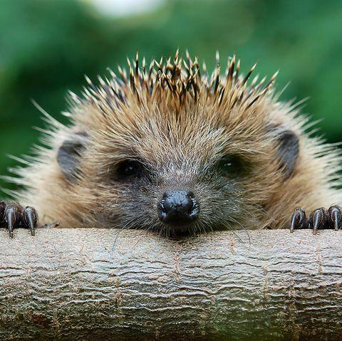 The European hedgehog (Erinaceus europaeus)