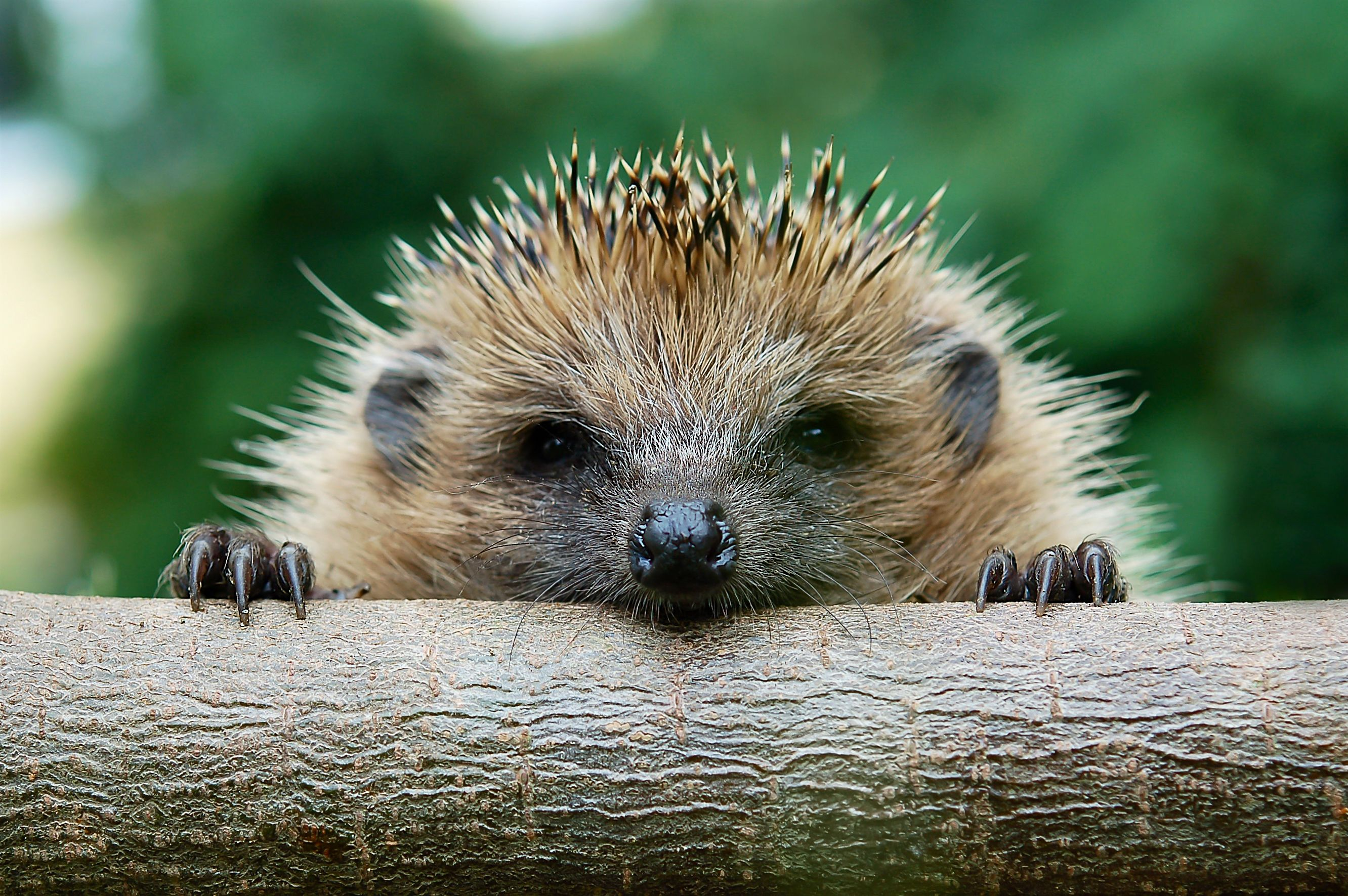The CDC Is Begging You to Stop Making Out with Hedgehogs, Apparently