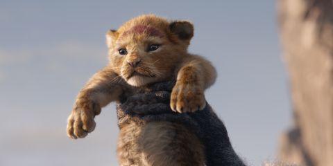 Mammal, Vertebrate, Felidae, Terrestrial animal, Lion, Wildlife, Whiskers, Big cats, Carnivore, Snout,