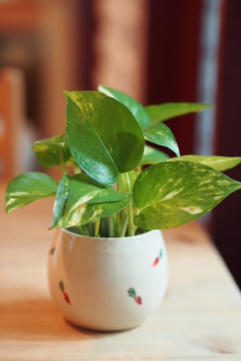 The Pothos with a Natural Light in the Morning.