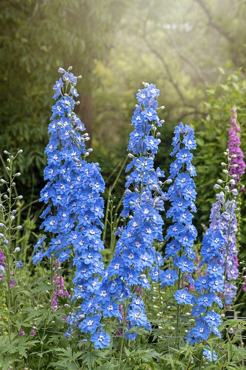 The vibrant blue colour of the summer flowering Delphinium 'Loch Nevis' in the hazy sunshine